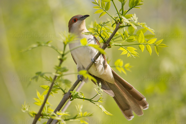 Black-billed Cuckoo Image @ Kiwifoto.com