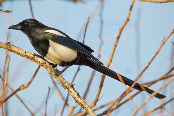 Black-billed Magpie Image @ Kiwifoto.com