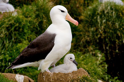 Black-browed Albatross Picture @ Kiwifoto.com