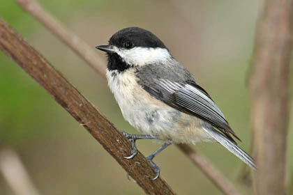 Black-capped Chickadee Photo @ Kiwifoto.com