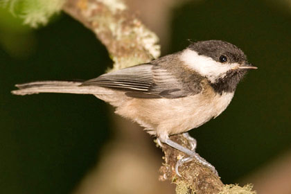 Black-capped Chickadee Picture @ Kiwifoto.com