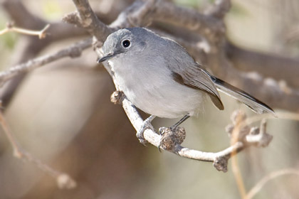 Black-capped Gnatcatcher (Female)