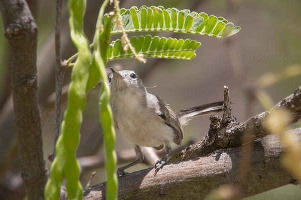 Black-capped Gnatcatcher Picture @ Kiwifoto.com
