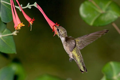 Black-chinned Hummingbird Picture @ Kiwifoto.com