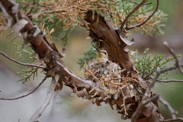 Black-chinned Hummingbird @ Sawmill Canyon (Aliso Spring), Santa Rita Mtns, AZ