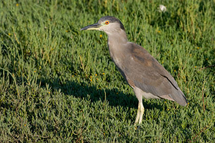 Black-crowned Night-Heron Photo @ Kiwifoto.com