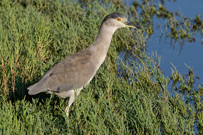 Black-crowned Night-Heron Image @ Kiwifoto.com