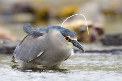 Black-crowned Night-Heron Picture @ Kiwifoto.com