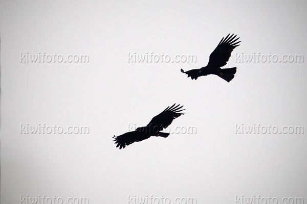 Black Eagle Picture @ Kiwifoto.com