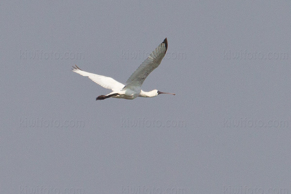 Black-faced Spoonbill Picture @ Kiwifoto.com