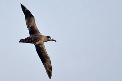 Black-footed Albatross Picture @ Kiwifoto.com