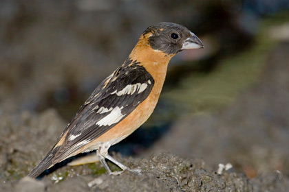 Black-headed Grosbeak Picture @ Kiwifoto.com