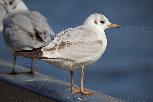 Black-headed Gull Photo @ Kiwifoto.com