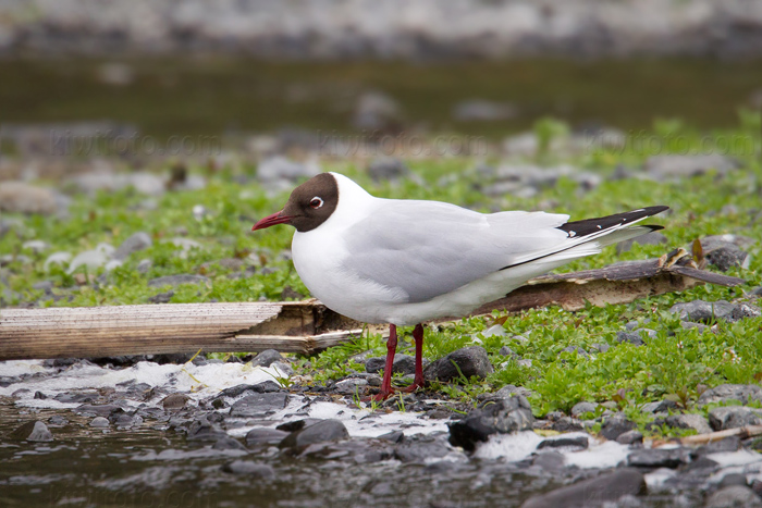 Black-headed Gull Image @ Kiwifoto.com