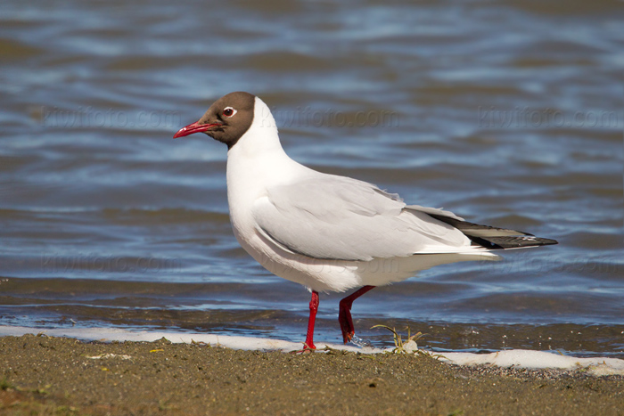 Black-headed Gull Picture @ Kiwifoto.com
