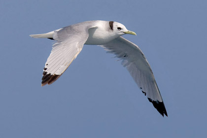 Black-legged Kittiwake Photo @ Kiwifoto.com