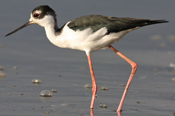 Black-necked Stilt Photo @ Kiwifoto.com