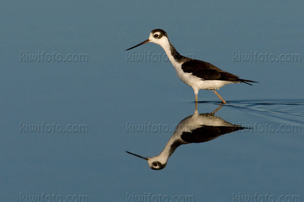 Black-necked Stilt Image @ Kiwifoto.com