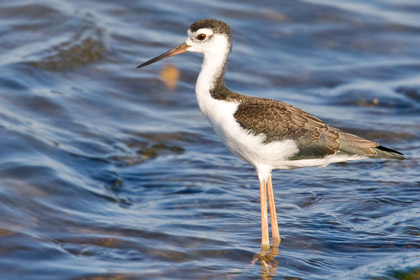 Black-necked Stilt (juvenal)