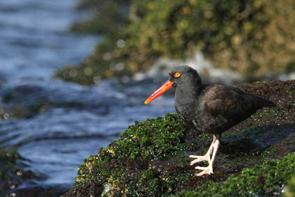 Black Oystercatcher, Ballona Creek, California
