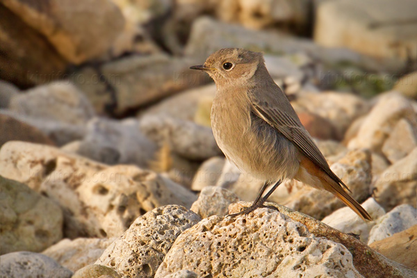 Black Redstart Photo @ Kiwifoto.com