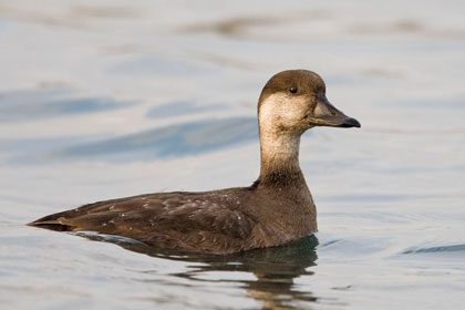 Black Scoter Image