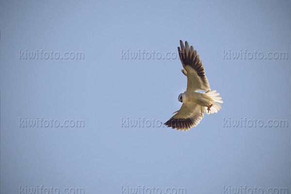 Black-shouldered Kite Picture @ Kiwifoto.com