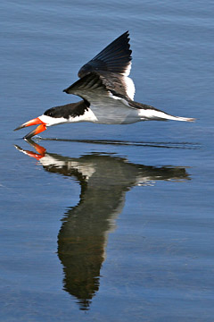 Black Skimmer Photo @ Kiwifoto.com