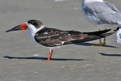 Black Skimmer Pictures and Photos - Photography - Bird