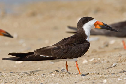 Black Skimmer Picture