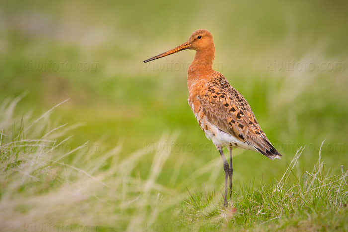 Black-tailed Godwit Picture @ Kiwifoto.com