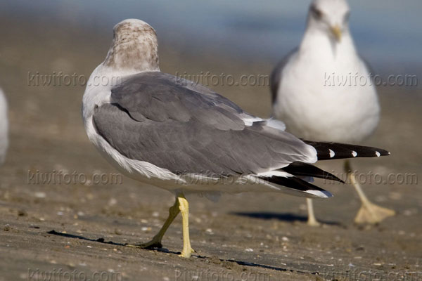 Black-tailed Gull Picture @ Kiwifoto.com