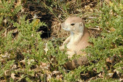 Black-tailed Prairie Dog Picture