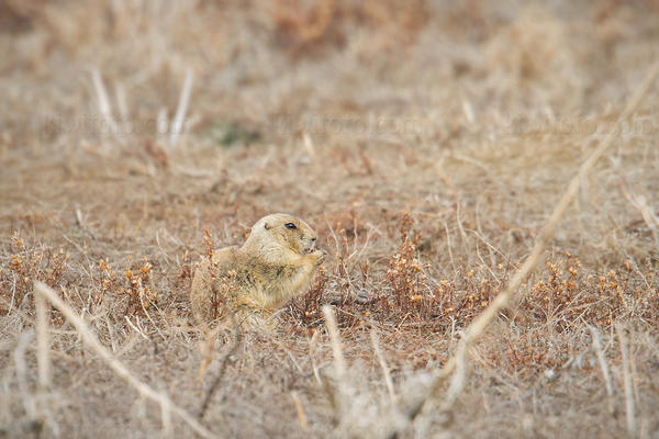 Black-tailed Prairie Dog Photo @ Kiwifoto.com