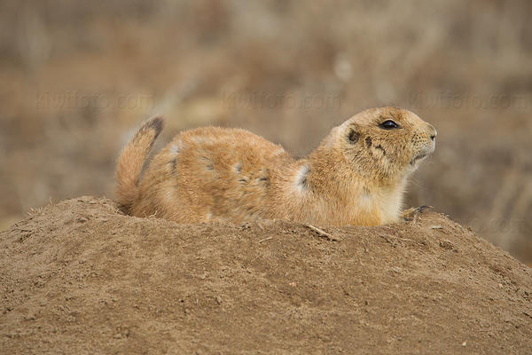 Black-tailed Prairie Dog Image @ Kiwifoto.com