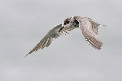 Black Tern Photo @ Kiwifoto.com
