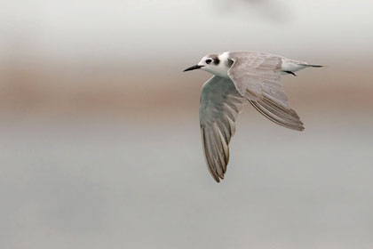 Black Tern Picture