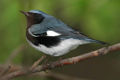 Black-throated Blue Warbler Image @ Kiwifoto.com