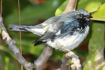 Black-throated Blue Warbler Picture @ Kiwifoto.com