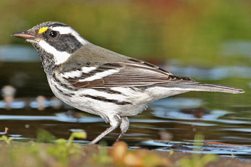 Black-throated Gray Warbler Photo @ Kiwifoto.com