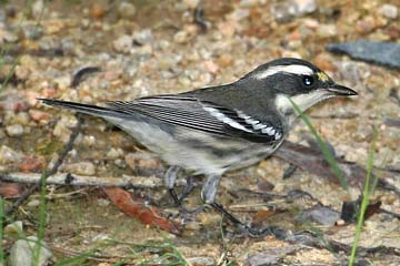 Black-throated Gray Warbler Image @ Kiwifoto.com