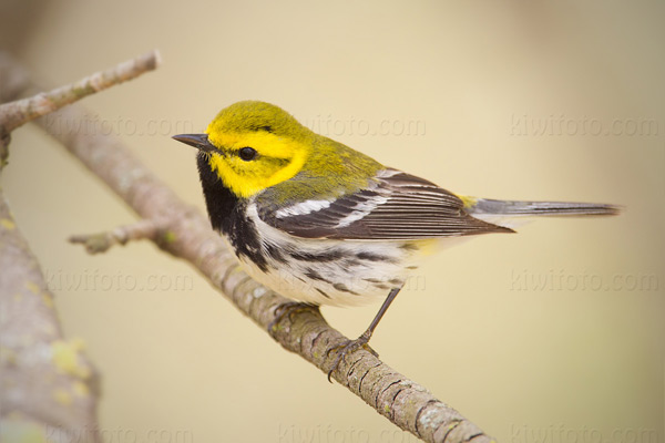 Black-throated Green Warbler, Crane Creek, Ohio