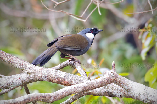 Black-throated Laughingthrush Image @ Kiwifoto.com