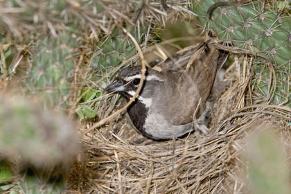 Black-throated Sparrow Picture @ Kiwifoto.com