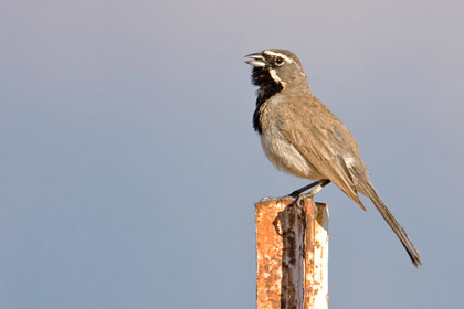 Black-throated Sparrow Photo @ Kiwifoto.com