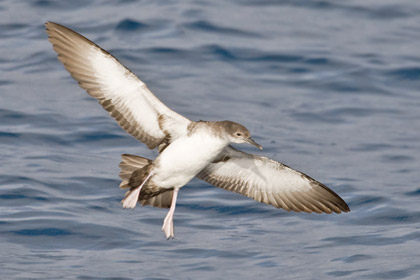 Black-vented Shearwater