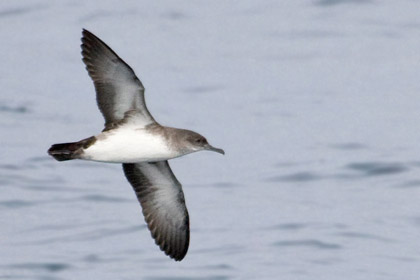 Black-vented Shearwater Picture @ Kiwifoto.com