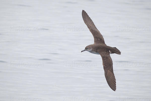 Black-vented Shearwater Photo @ Kiwifoto.com