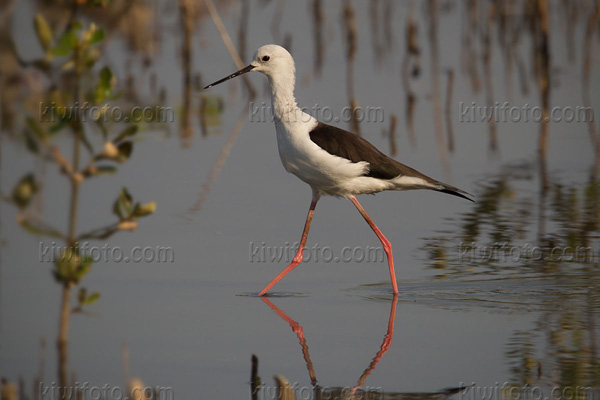 Black-winged Stilt Photo @ Kiwifoto.com