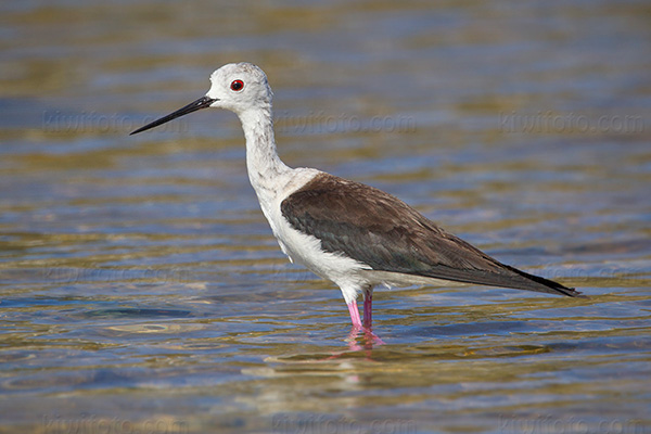 Black-winged Stilt Picture @ Kiwifoto.com